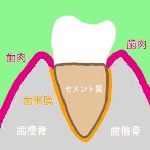 歯周組織(歯肉、セメント質、歯槽骨、歯根膜)