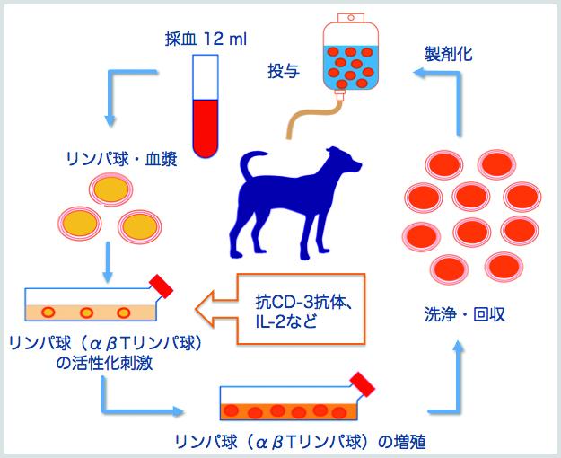 活性化リンパ球療法のフロー図
