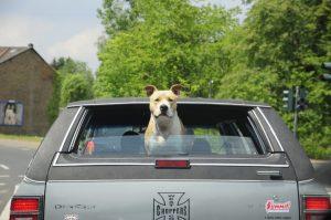 車から外を見る犬
