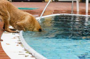 プールに顔を突っ込む犬