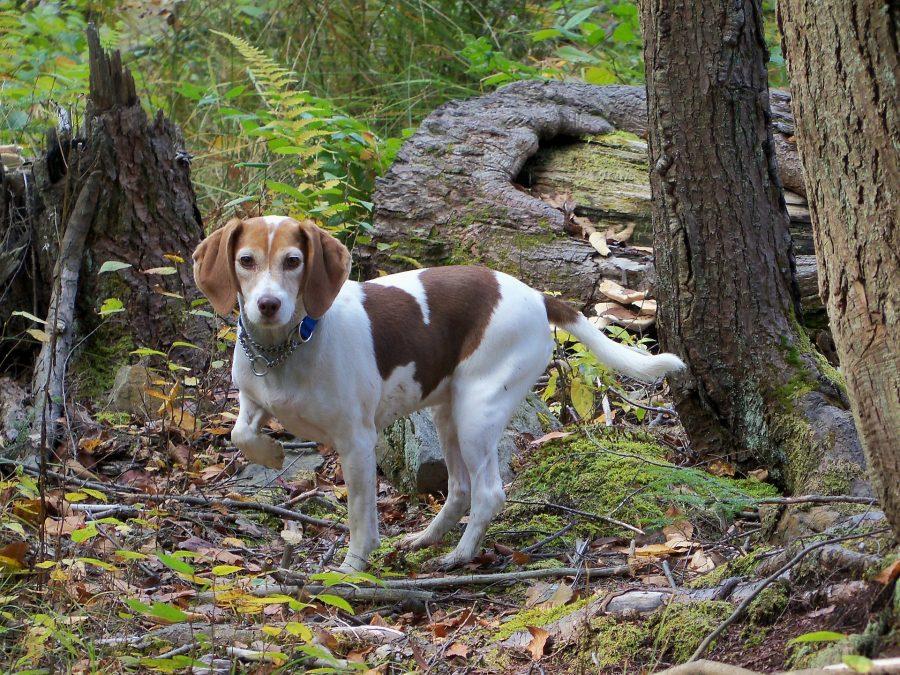 森の中にいるビーグル