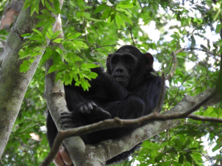 アフリカ9カ国縦断記で出会ったチンパンジー