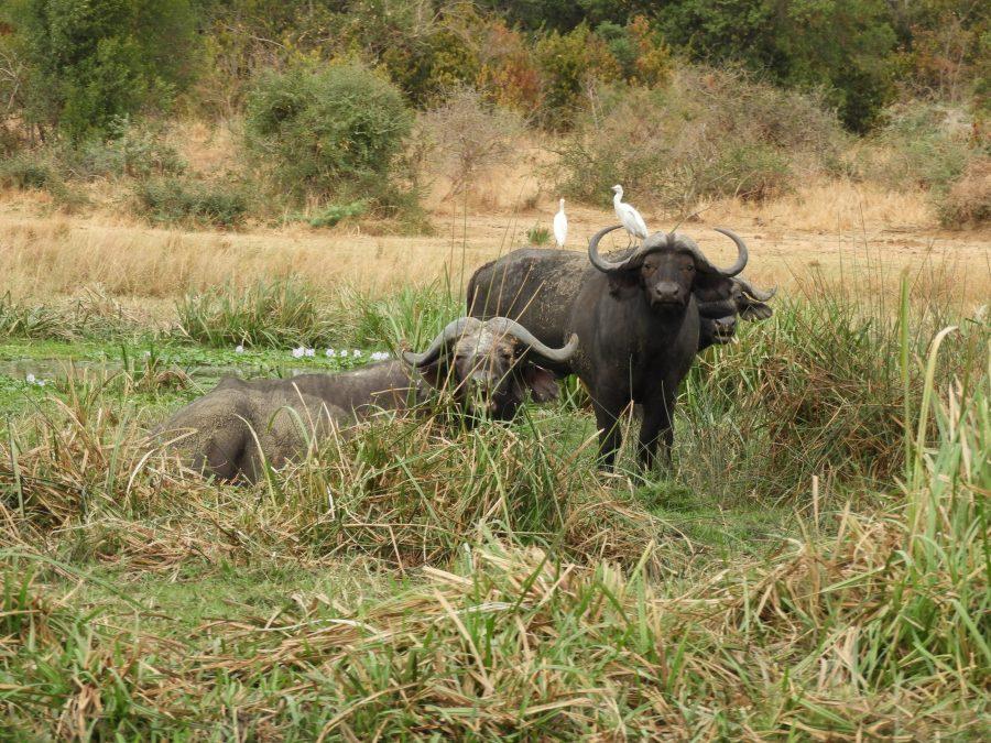 アフリカ9カ国縦断記で出会ったバッファロー