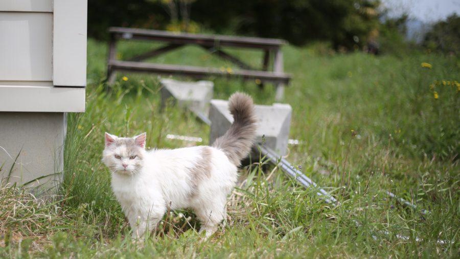 マンガアイランドにいたふさふさの猫