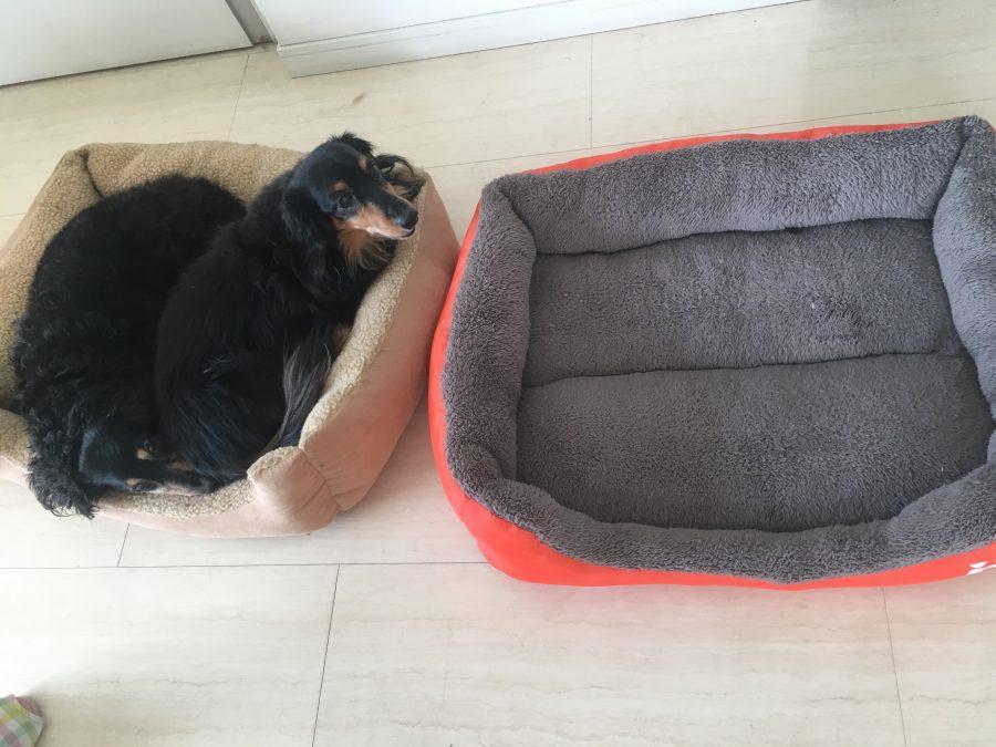 ベッドで寝転ぶ2匹のミニチュアダックスフンド