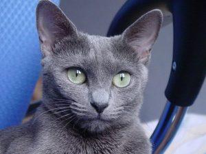 russian-blue-cat-573629_1280