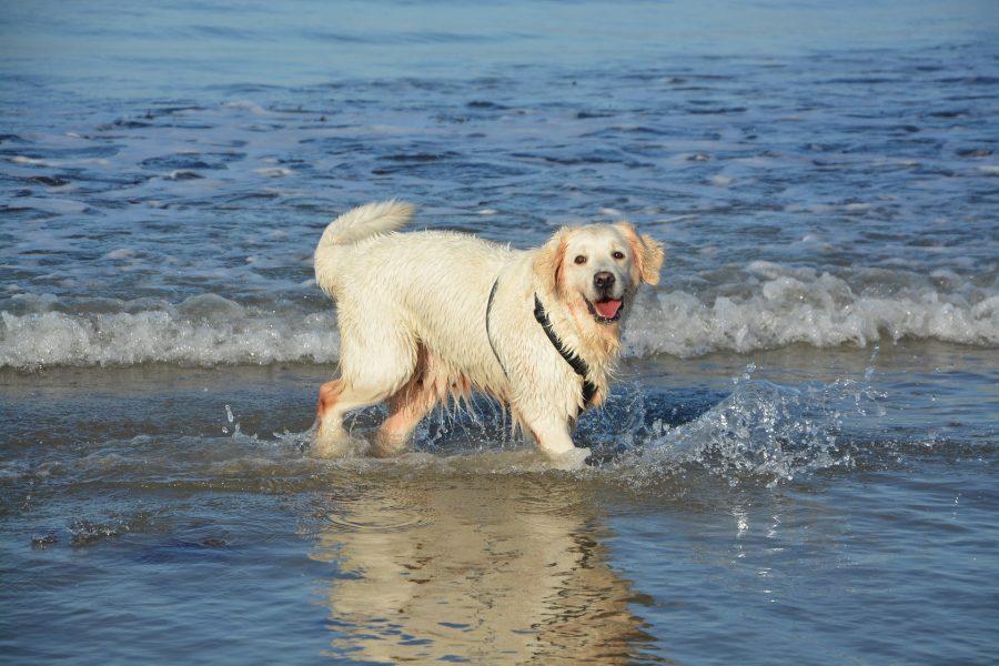 海で遊ぶゴールデンレトリバー