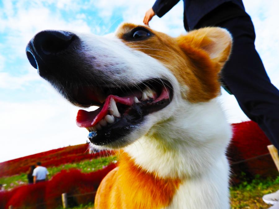 犬とひたち海浜公園にお出かけ コキア