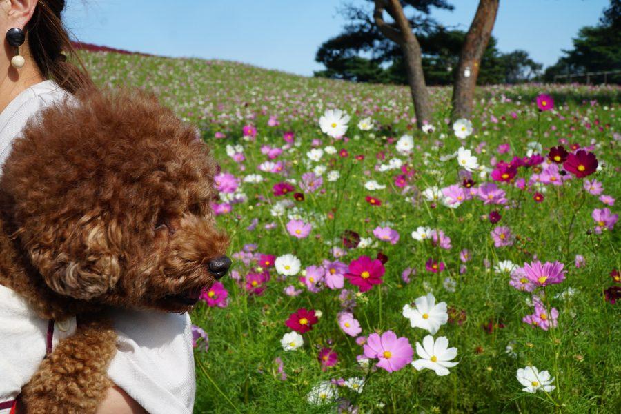 コスモスを見に犬とひたち海浜公園へお出かけ