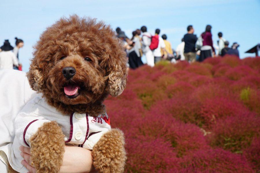 コキアを見に犬とひたち海浜公園へお出かけ