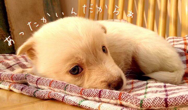 犬の寒さ対策に大切な毛布を被っている犬