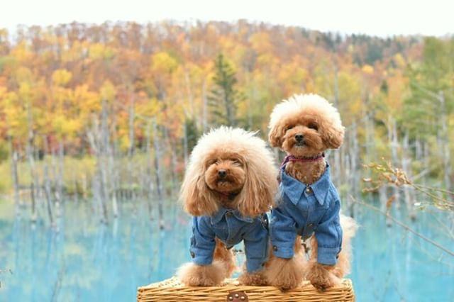 犬と秋に行きたい紅葉が楽しめるお出かけスポット北海道にある美瑛