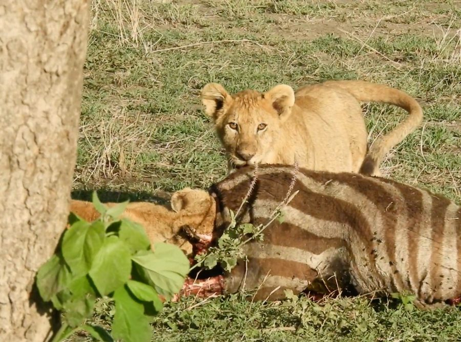 セレンゲティ国立公園 ライオン