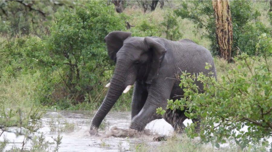 セレンゲティで川に流された象