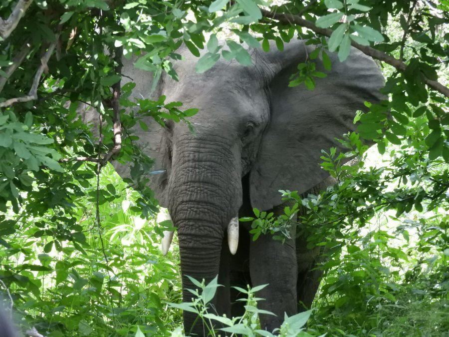 森林で出会ったアフリカゾウ