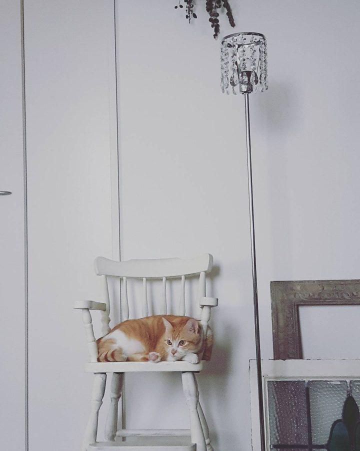 白いイスの上の茶白猫
