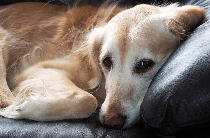 日本初の犬におけるアナプラズマ...