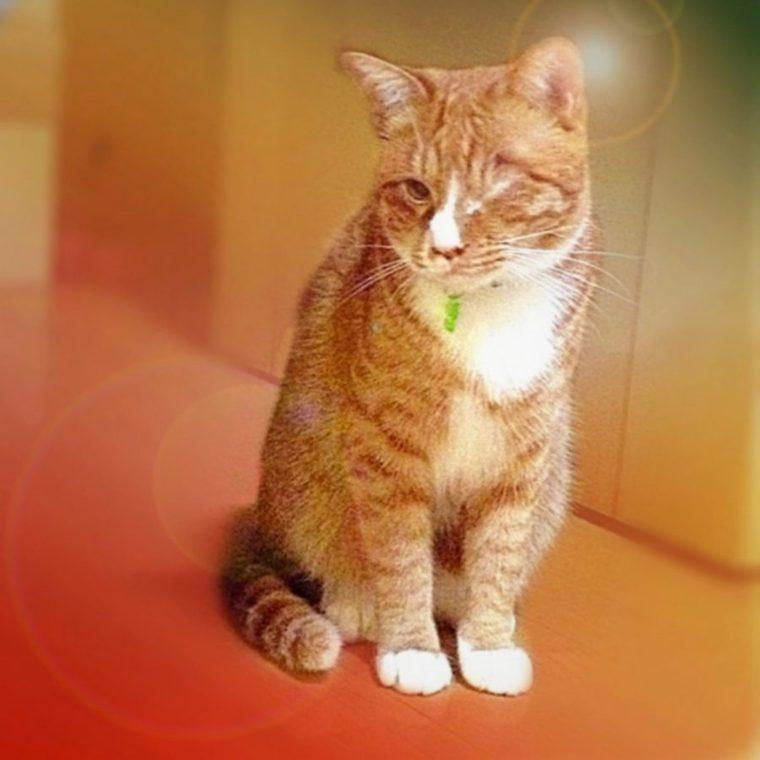 小型の猫ってどんな種類がいるの? マンチカンなど大きくなりにくい猫を紹介