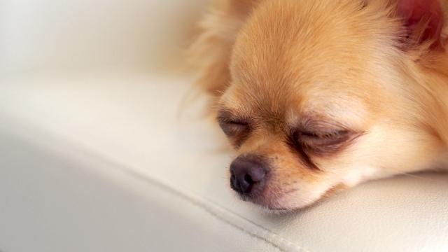cães em anestesia