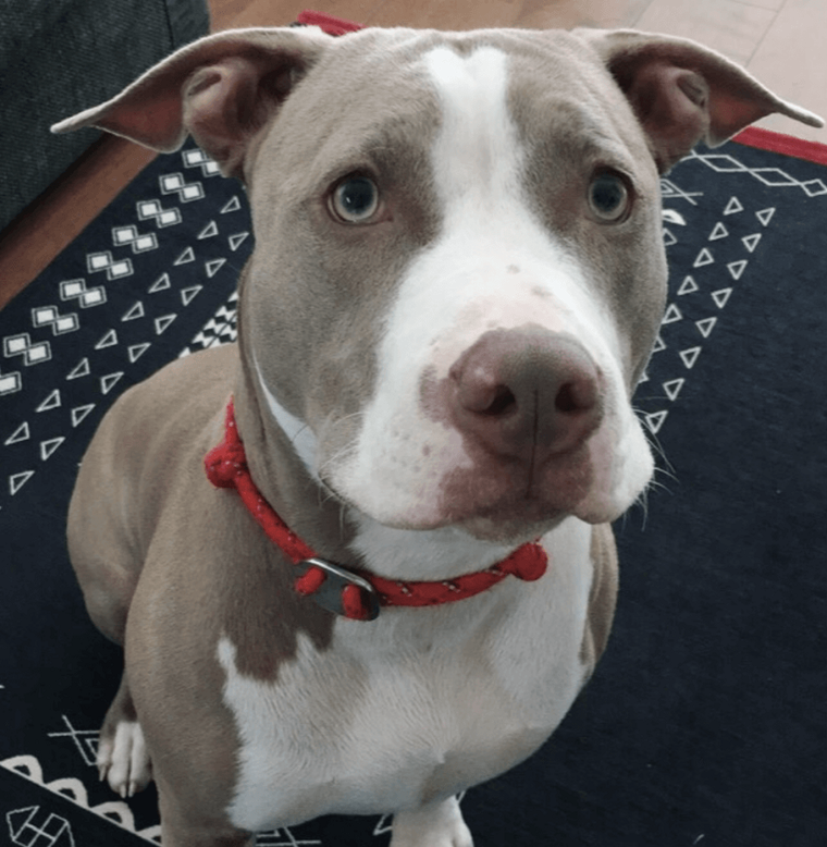 Image result for 犬 pitbull 悲しい