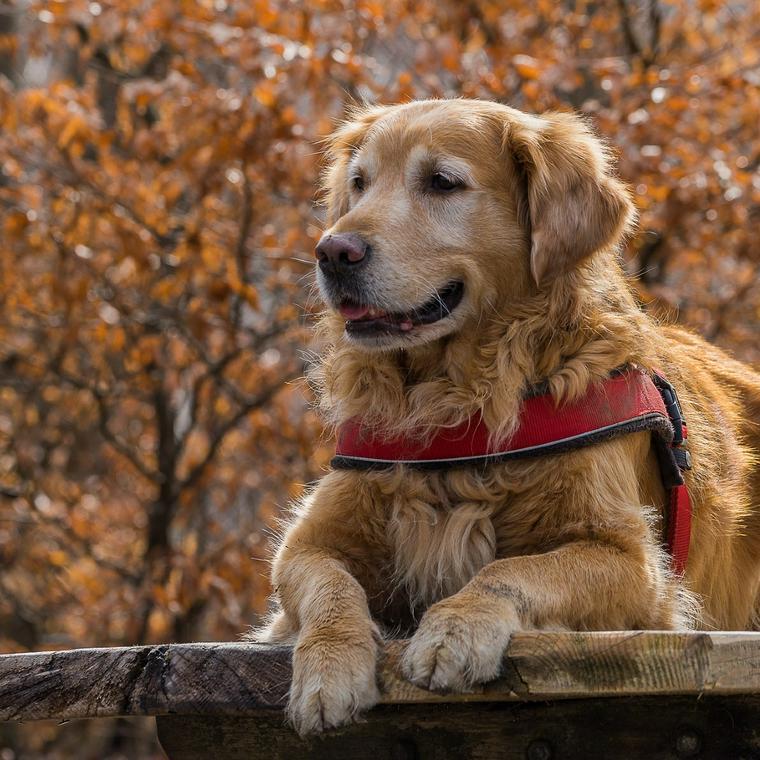 飼い やすい 大型 犬