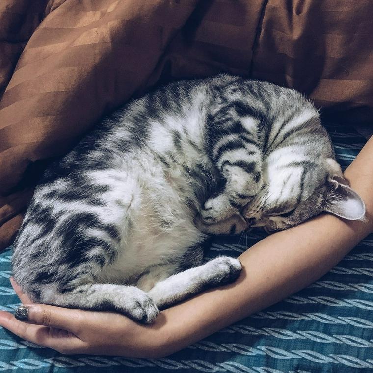 お腹の上で寝る猫
